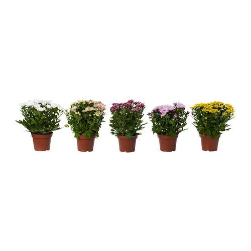 Chrysanthemum Potplant Ikea