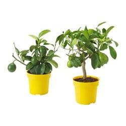 CITRUS potplant