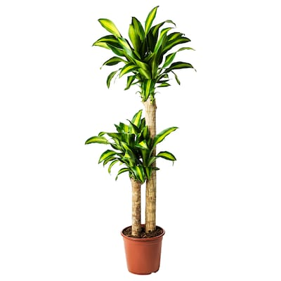 DRACAENA MASSANGEANA Potplant, Drakenbloedboom/2 stammen, 24 cm