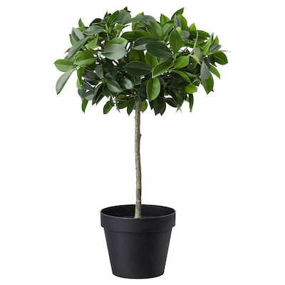 FEJKA Kunstplant, binnen/buiten/Ficus Benjamin groen blad stam, 12 cm