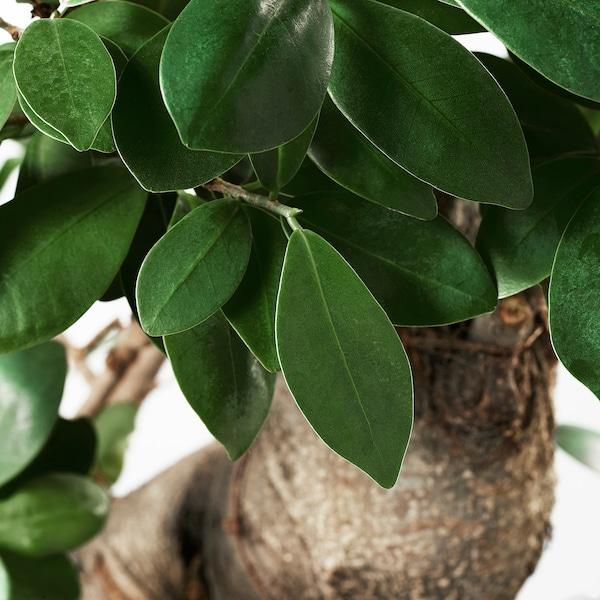Ficus Microcarpa Ginseng Plant Met Sierpot Bonsai Diverse Kleuren Koop Het Vandaag Ikea