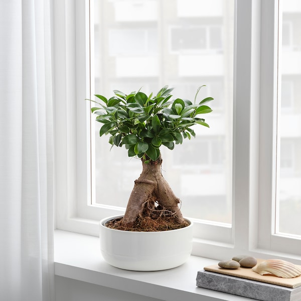 Ficus Microcarpa Ginseng Plant Met Sierpot Bonsai Diverse Kleuren Winkel Hier Ikea
