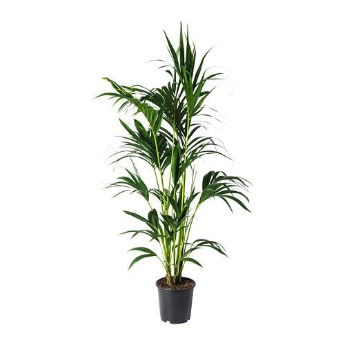 Howea forsteriana potplant ikea for Ikea kunstliche pflanzen