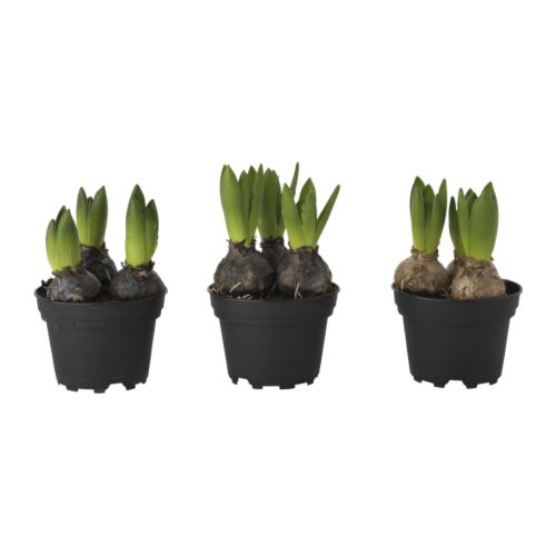 Hyacinthus plant 3 bollen ikea - Planting hyacinths pots ...