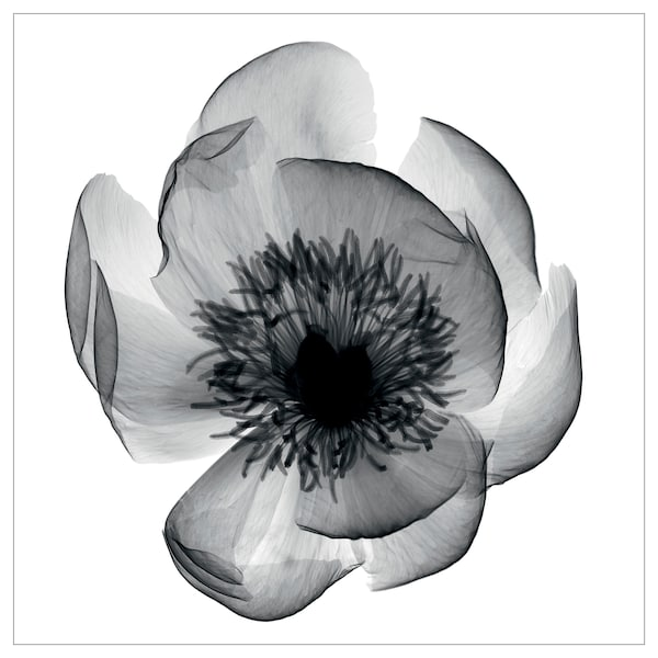 KATEBO afbeelding zonder lijst röntgenfoto pioenroos/polystyreen 50 cm 50 cm