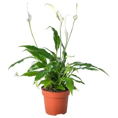 SPATHIPHYLLUM Potplant, Lepelplant, 12 cm