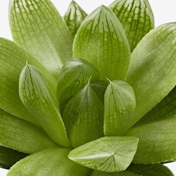 SUCCULENT Potplant, diverse soorten, 9 cm