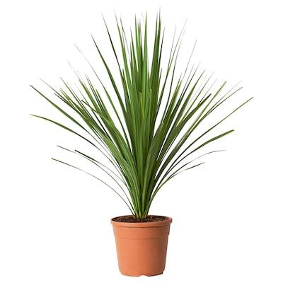 CORDYLINE INDIVISA Potteplante, Praktdracena, 24 cm