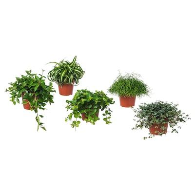 HIMALAYAMIX Potteplante, blandede arter, 12 cm