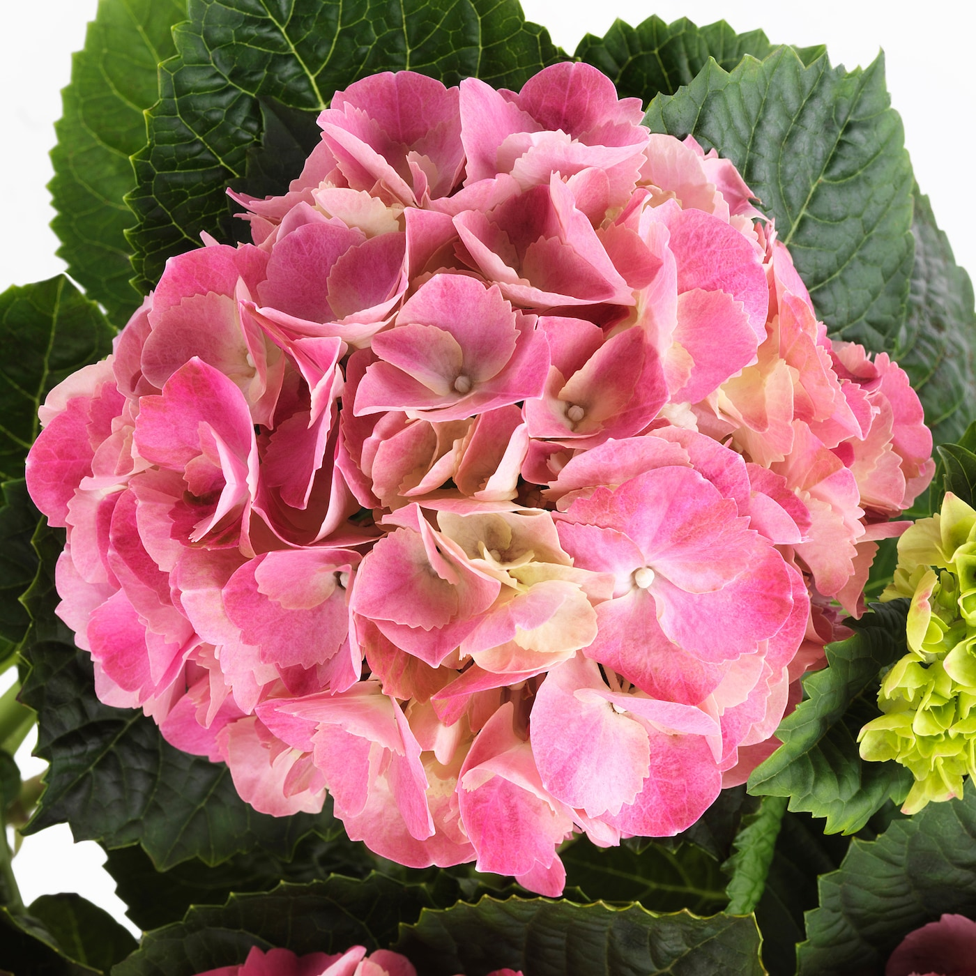 HYDRANGEA Potteplante Hortensia flere farger 15 cm