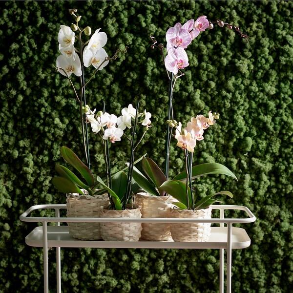 KAFFEBÖNA Blomsterpotte, bambus, 9 cm