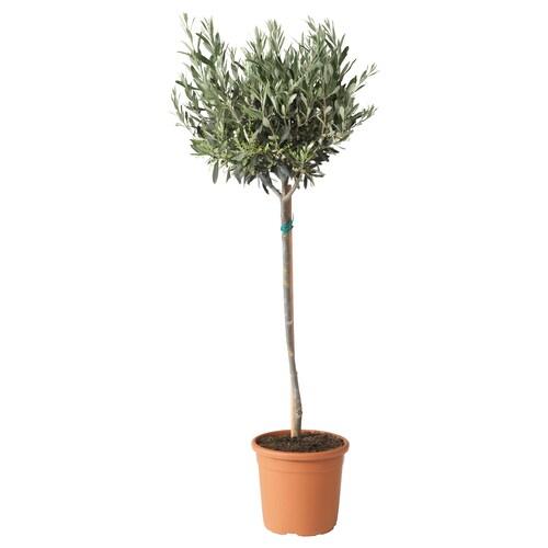 OLEA EUROPAEA potteplante Oliventre/stamme 22 cm 95 cm