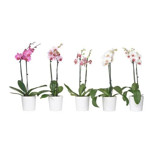 phalaenopsis potteplante med potte ikea. Black Bedroom Furniture Sets. Home Design Ideas