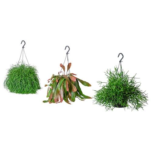 IKEA RHIPSALIS Potteplante