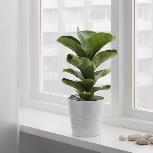 ИКЕА ИКЕА FICUS LYRATA BAMBINO, Растение в горшке, 104.853.65, фикус лирата, 12 см, 104.853.65