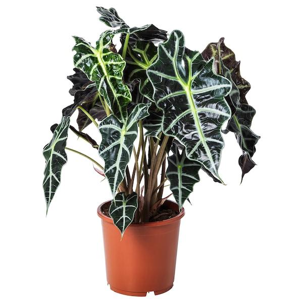 ALOCASIA AMAZONICA Roślina doniczkowa, ucho słonia, 17 cm