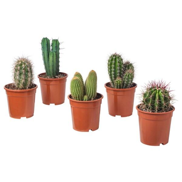 CACTACEAE Roślina doniczkowa, różne, 17 cm