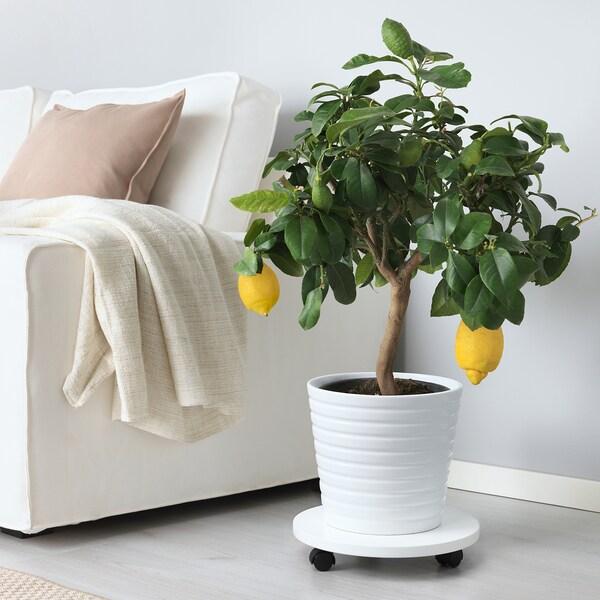 CITRUS roślina doniczkowa cytryna 21 cm 60 cm