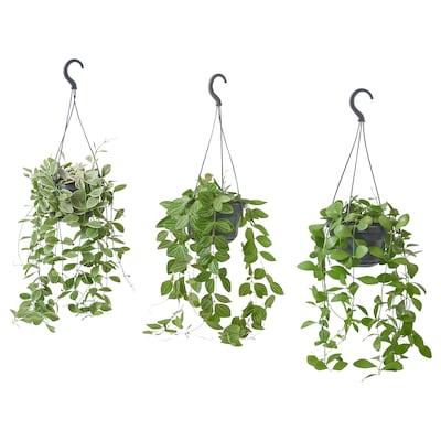DISCHIDIA Roślina doniczkowa, wiszący/różne, 14 cm