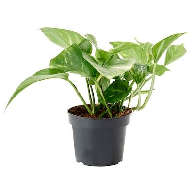 EPIPREMNUM Roślina doniczkowa, Epipremnum złociste, 12 cm