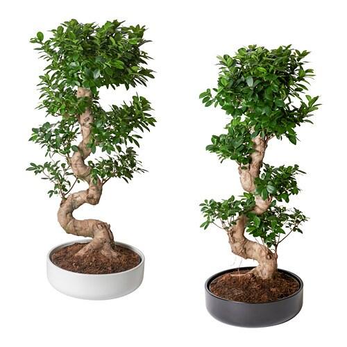 FICUS MICROCARPA GINSENG Roślina z doniczką - bonsai, różne kolory-1