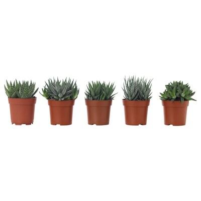 HAWORTHIA Roślina doniczkowa, różne, 6 cm