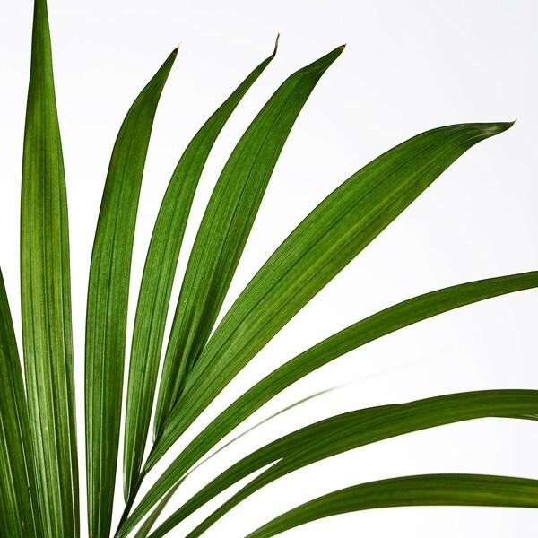 IKEA HOWEA FORSTERIANA Roślina doniczkowa
