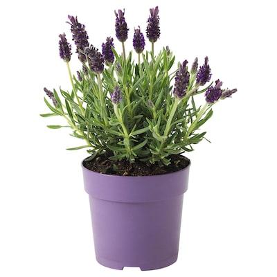 LAVANDULA Roślina doniczkowa, lawenda, 12 cm