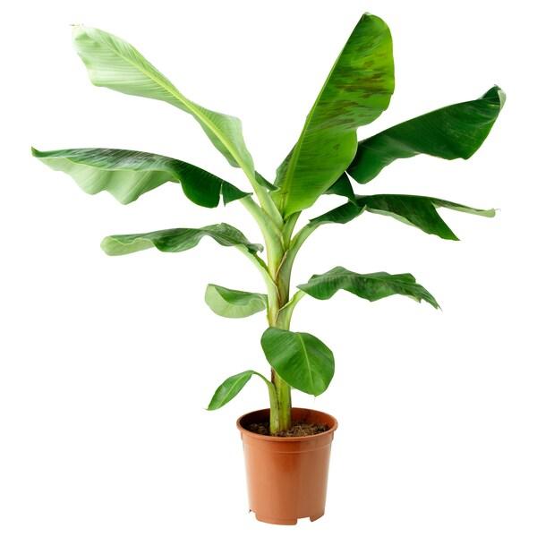 MUSA BANANA Roślina doniczkowa, 21 cm