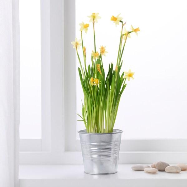 NARCISSUS CYCLAMINEUS TETE A TETE roślina doniczkowa żonkil 9 cm 10 cm