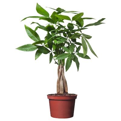 PACHIRA AQUATICA Roślina doniczkowa, Pachira Aquatica, 12 cm