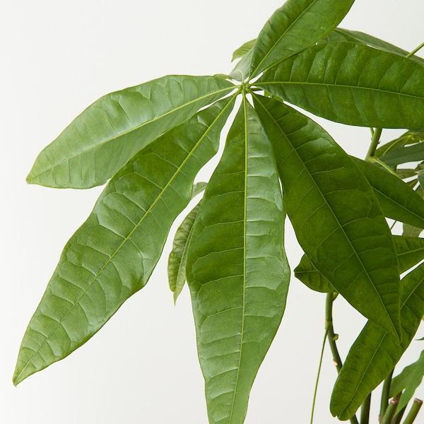 PACHIRA AQUATICA Roślina doniczkowa, Pachira Aquatica, 27 cm