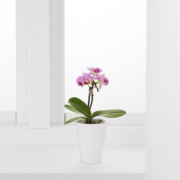 IKEA PHALAENOPSIS Roślina z doniczką