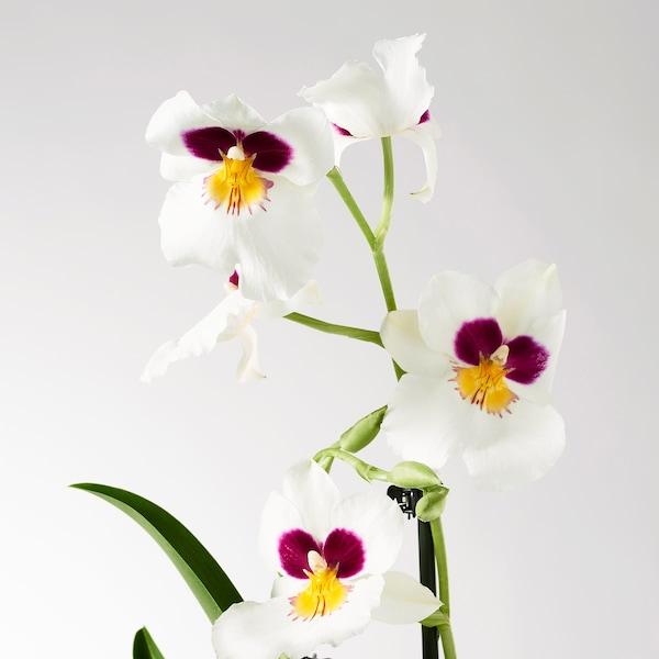 PHALAENOPSIS Roślina doniczkowa, Orchidea/1 pień, 12 cm