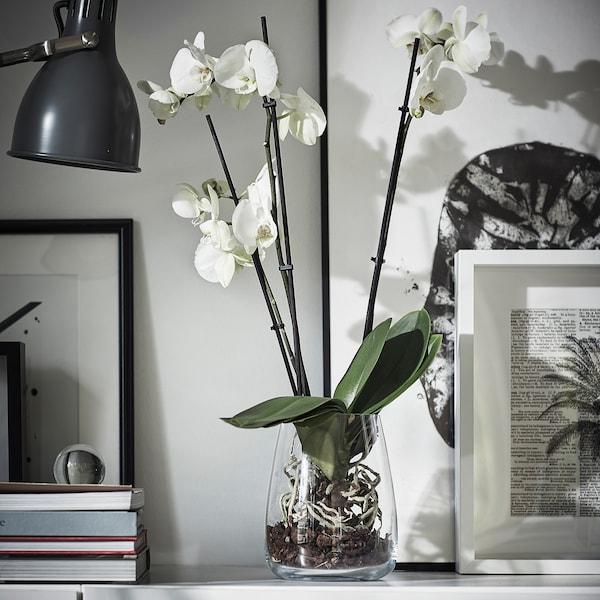 PHALAENOPSIS Roślina doniczkowa, Orchidea/2 łodygi, 12 cm