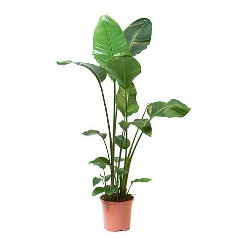 STRELITZIA Roślina doniczkowa - Rajski ptak-1