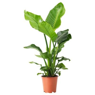 STRELITZIA Roślina doniczkowa, Rajski ptak, 19 cm