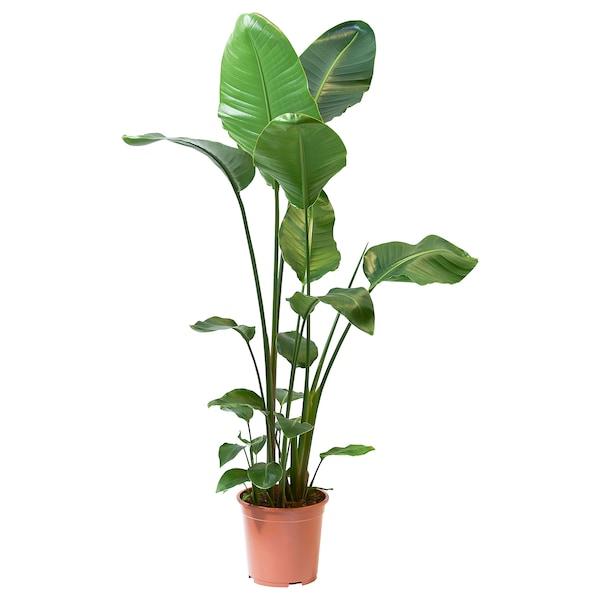 STRELITZIA Roślina doniczkowa, Rajski ptak, 27 cm