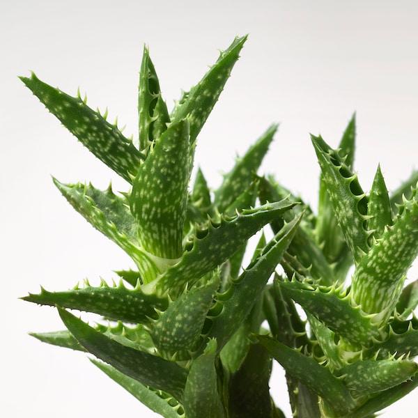 SUCCULENT roślina z doniczką różowy 6 cm 7 cm