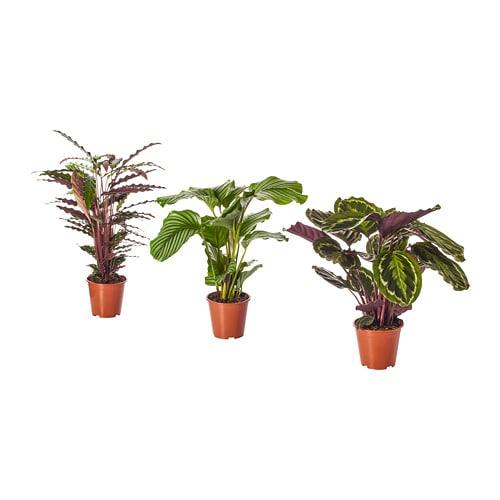 Calathea Potted Plant