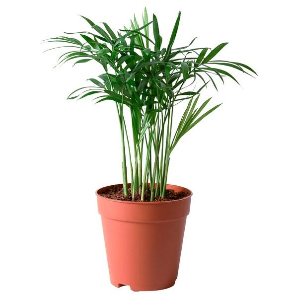 CHAMAEDOREA ELEGANS Potted plant, Parlour palm, 9 cm
