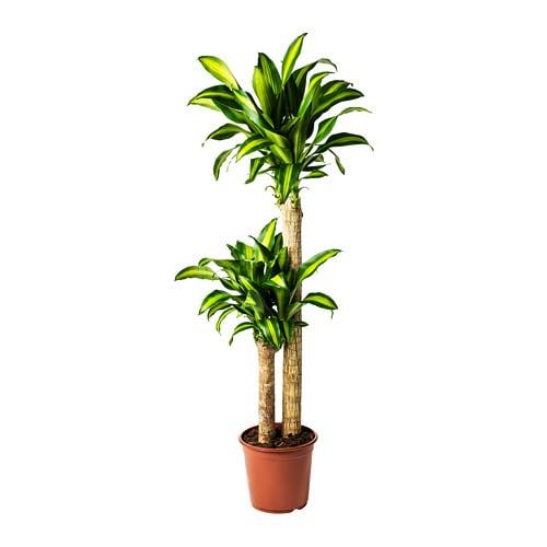 Dracaena Massangeana Potted Plant Ikea