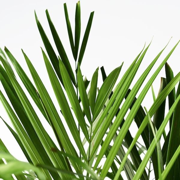 DYPSIS LUTESCENS potted plant Areca palm 24 cm 120 cm