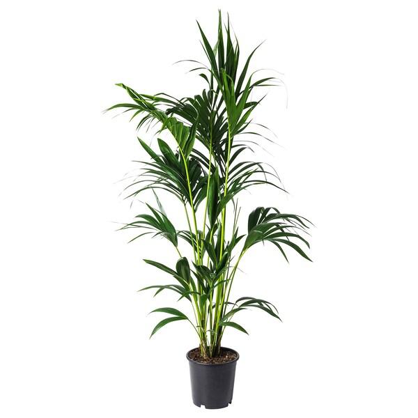 HOWEA FORSTERIANA potted plant Kentia palm 24 cm 190 cm
