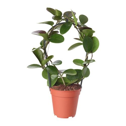 Hoya Potted Plant Ikea