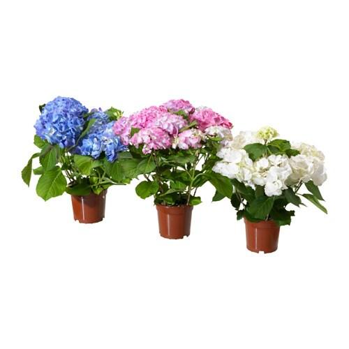 HYDRANGEA Potted plant - IKEA