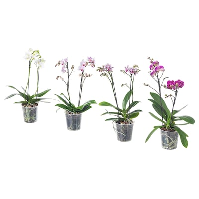 PHALAENOPSIS Potted plant, Orchid/multiflora 2 stems, 9 cm