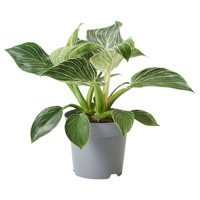 PHILODENDRON WHITE WAVE Potted plant, 14 cm
