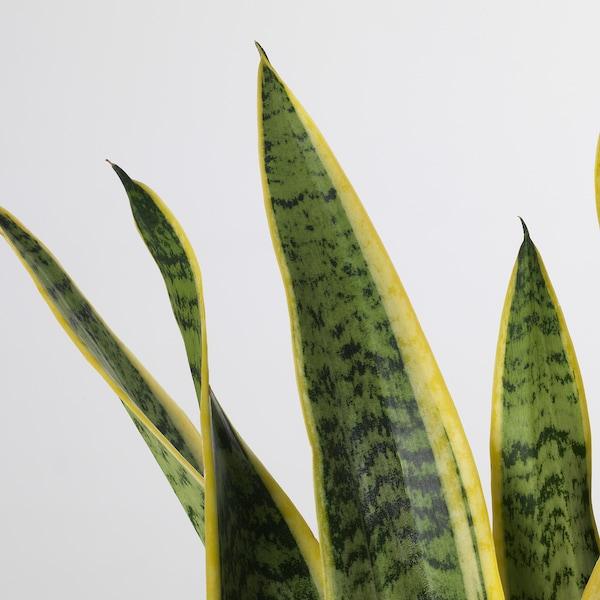 SANSEVIERIA TRIFASCIATA potted plant Mother-in-law's tongue 14 cm 40 cm