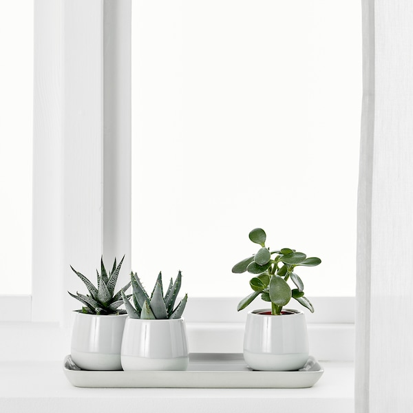 SUCCULENT Potted plant with pot, grey, 6 cm